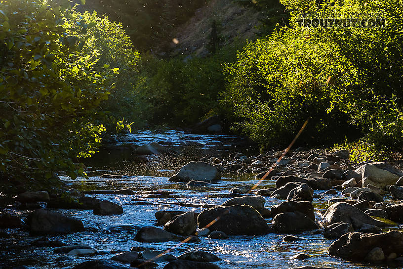 Thick swarm of midges over the creek From Mystery Creek # 200 in Washington.