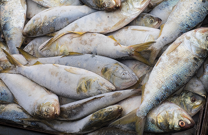Unlike other species that are managed by the Virginia Marine Resources Commission, menhaden regulations are established by the state's General Assembly. (Dave Harp)